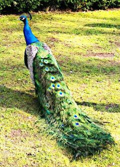 peacock dpcallaboutbirds