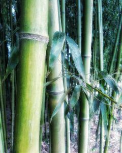 bamboo beautifulnature nature spring shanghaibotanicalgarden